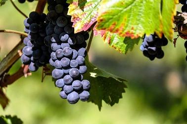 Работа за рубежом: подбор винограда