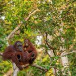 mina orangutan