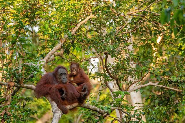 orangutan mina